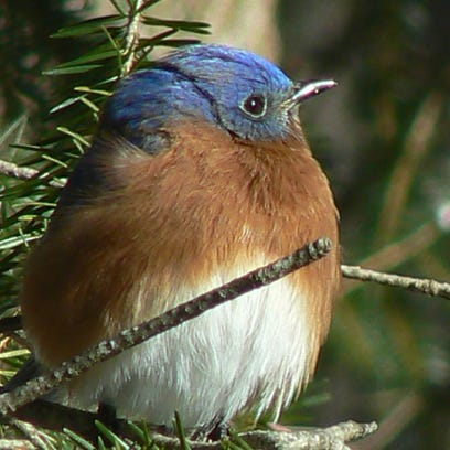 This male bluebird shows off its winter coat.