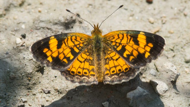 The upperside of a pearl crescent's wings is bright orange with black markings and the underside of the back wings is an orange-brown to gray-brown color with no markings.