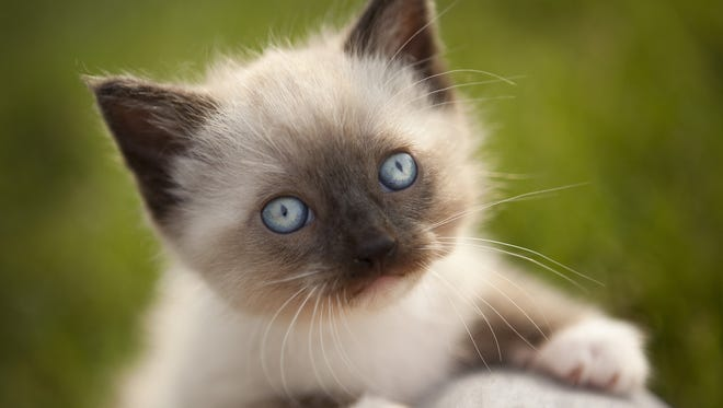 Alice Alexander's Siamese cat (not the cat pictured) had been living a double life.