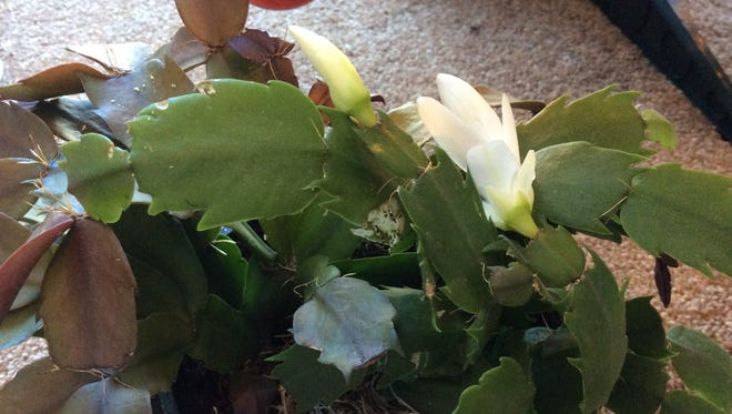 If your Christmas cactus has already started blooming, it's probably a Thanksgiving cactus. Thanksgiving cactus leaves have irregularly shaped ends and their flowers are more horizontal, while Christmas leaves are smooth and rounded at the ends and the flowers hang down.