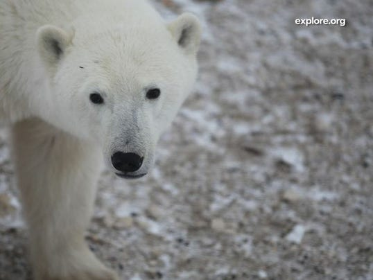 Polar bear on Explore.org's live cam