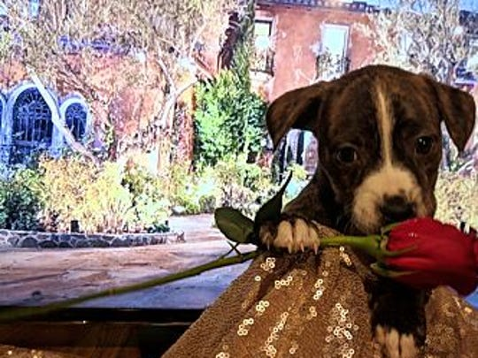Andi, an American pit bull terrier and boxer mix, is available for adoption through Bounce Animal Rescue.