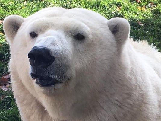 636155022413865423-polar-bear.JPG