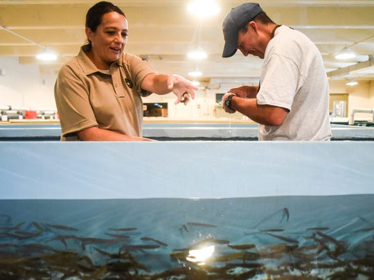 Game warden Kqyn Kuka works with Hatchery Manager Ryan Derr to clip unnecessary adipose fins of young fish for future strain identification. Kuka's job primarily consists of enforcement, but she helps out in the hatchery to build peer relationships, knowledge for public questions and to understand how crimes affect the hatchery.