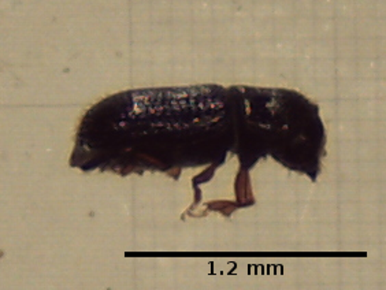 This photo shows a bark beetle, which is about 1.2
