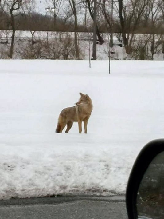 Reader Rachel Geist submitted this photo last week of a coyote that has been seen roaming in West Lebanon Township near the  25th Street railroad underpass. Submitted