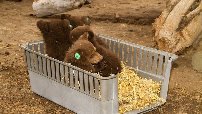 Bear cubs orphaned near Stateline, Nev., will be kept at Animal Ark in Reno then released next winter.