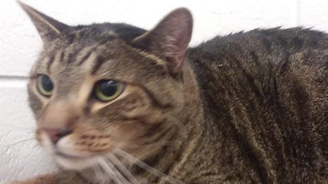A066037 - 'Banjo' neutered male, Brown Tabby with current vaccinations