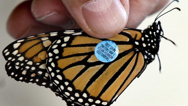 Monarch butterflies are tagged and released at the Monarch Butterfly Festival at St. Marks refuge.