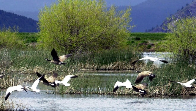 A May 2005 photo shows snow geese and Canada geese preparing to land on a marsh near Merrill, Ore.  Wildlife officials say 2,000 migrating snow geese have died in eastern Idaho likely because of avian cholera.