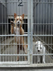 In this file photo, two terriers look for attention from their shared kennel in the Ventura County Animal Services shelter in Camarillo.