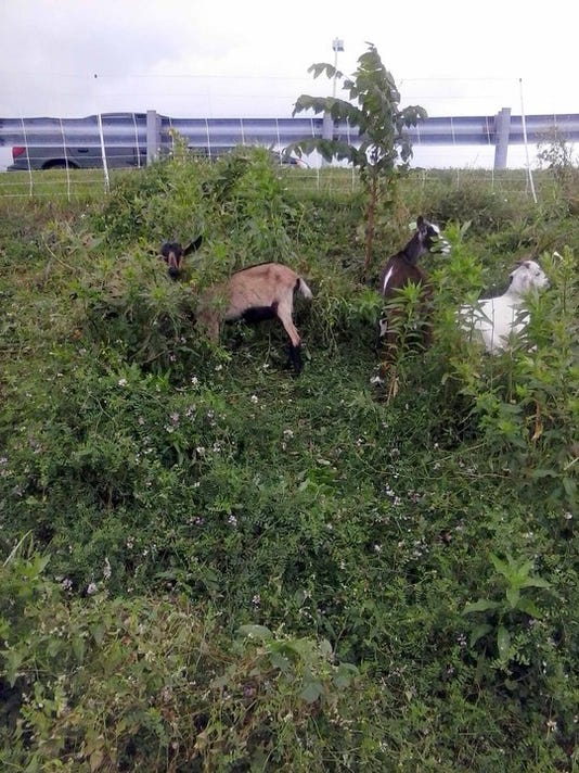 Goats helping to control weeds by the Dream Center at Grace Methodist Church in Shrewsbury.
