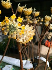 Edgeworthia's common name, paper bush, comes from its utilitarian bark, which is processed into a high-grade paper product in Japan and China.