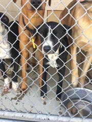 A submitted photo showing multiple dogs  inside a kennel area at the Caddo Parish Animal Services shelter. CPAS director Chuck Wilson says the number of dogs in each kennel is in compliance with guidelines based on cage size.