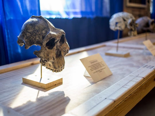 """A 1.8-million-year-old australopithecus boisei skull is displayed at the Port Huron Museum's new """"Paleomania"""" exhibit."""
