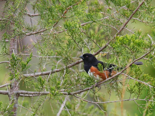 An eastern towhee sits perched in Turkey Run Park at The Parklands on Tuesday morning. The small birds have a black top with copper tones down the side and are usually spotted rustling through undergrowth. April 19, 2016