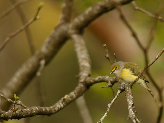 A white-eyed vireo in Turkey Run Park at The Parklands. The small song bird with a yellow underside and distinctive light eyes, is common in shrub areas in the eastern and southern United States. April 19, 2016