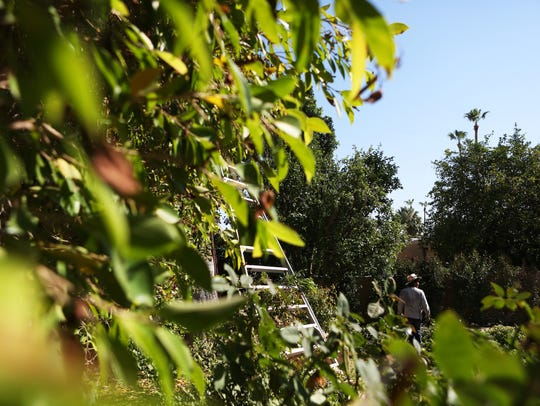 A gardener trims down a 25-foot hedge at the home of