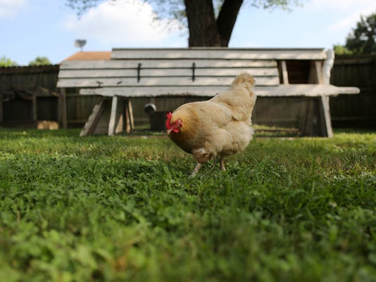 5 facts about raising chickens in Louisville