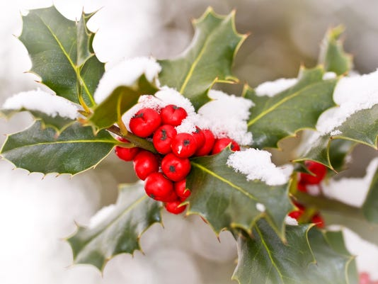 Close up od a branch of holly  with snow