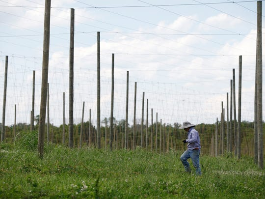 A worker drug ropes that will be used to support new hops plants on Veering Creek Farm. the farm will supply local craft brewers with locally grown hops. May 30, 2017.