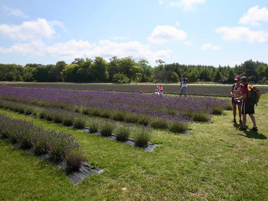 Visitors stroll through the lavender fields at Fragrant