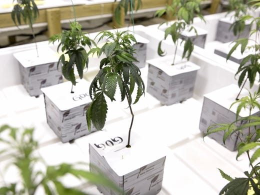 Marijuana plants are seen growing at the NoHo Compassionate