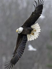 In this Jan. 28 photo, a bald eagle soars over the Haw River near Jordan Lake in Moncure, N.C. Jordan Lake, a 14,000-acre reservoir in the Triangle Region of the state is currently home to about a dozen pairs of nesting bald eagles. The many miles of shoreline make for a perfect habitat for the nation's symbol.