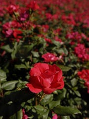 Knockout roses are a blooming beauty native to Delmarva.