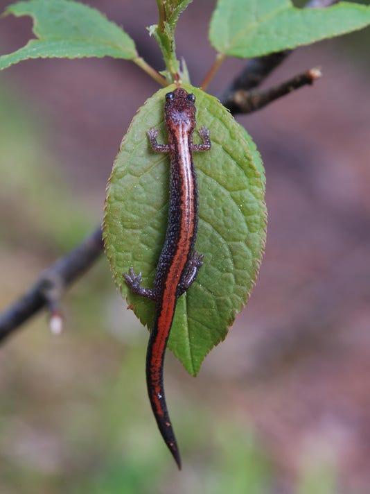 -dcn 0617 ridges red backed salamander.jpg_20150612.jpg