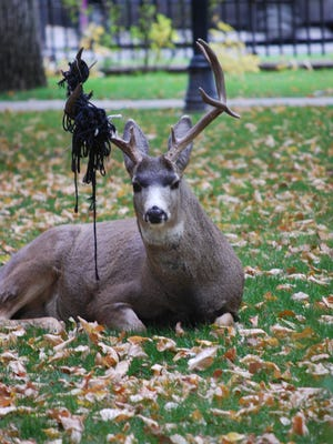 This deer was spotted on the lawn of the Nevada Capitol in Carson City.