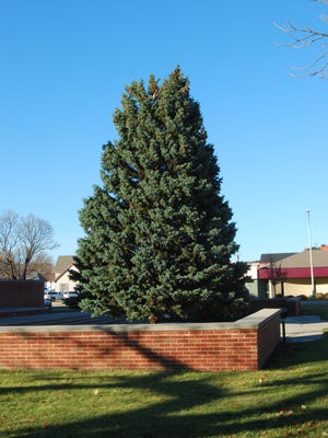 Port Huron's Christmas Tree was planted Saturday in front of McMorran Place.