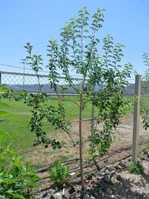 Espalier trees, usually apples or pears, are trained to grow flat against fences or walls.