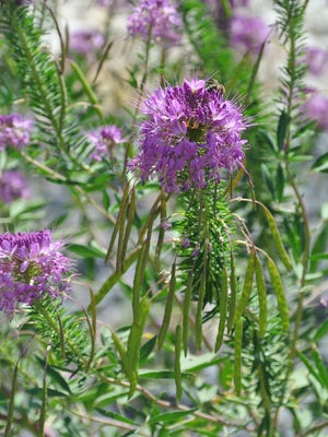 Cleome serrulata (Rocky Mountain beeplant) is a long-blooming native annual that is a valuable nectar source for native bees and honeybees.