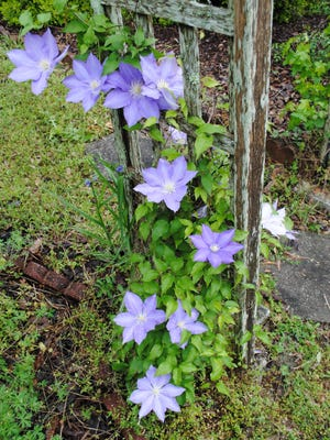 The clematis vine that grows on the left side of the arbor at the bottom of the slope garden bloomed profusely this year.  Both vines are purple, but the one growing on this side of the arbor is a lighter shade of purple than the one on the right side. Notice how large the lovely blossoms are.