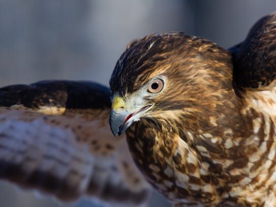 Years ago, experts at the Hawk Mountain Sanctuary documented