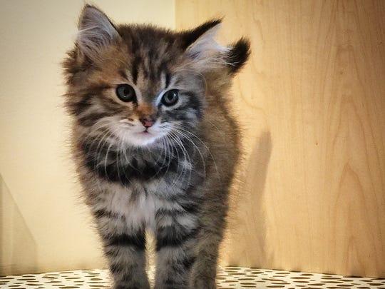 S'Mores has a special Feline Frenzy adoption fee of $75.