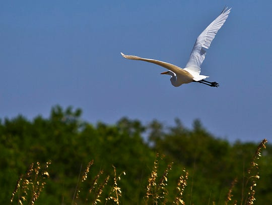 An egret flies over the lagoon in Cayo Costa during
