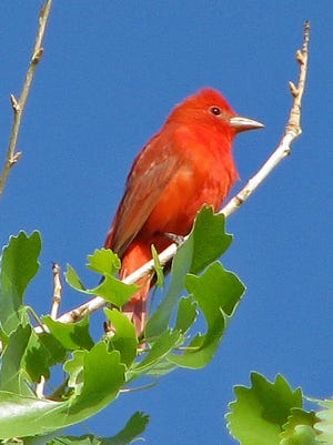 A male summer tanager perches atop a cottonwood tree.