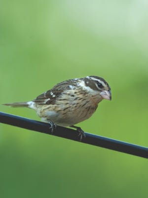 Because of weather patterns, folks in central Wisconsin are seeing fewer birds like this female rose-breasted grosbeak in their backyards.