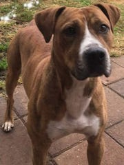 Petey is a young, neutered-male pitbull terrier/boxer