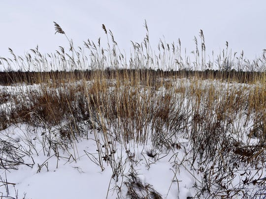 A stand of the native, and rare, common reed (Phragmites