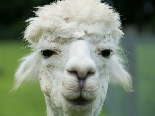 An alpaca stares into the camera at TaCaCo Alpaca farm