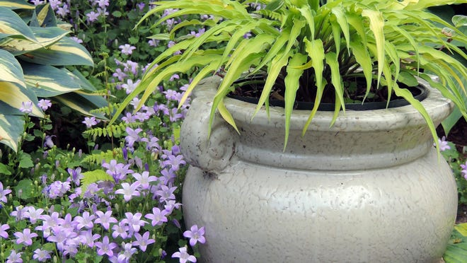 Hostas make surprisingly good container plants, either single specimen pots, or in combination with annuals, perennials and grasses.