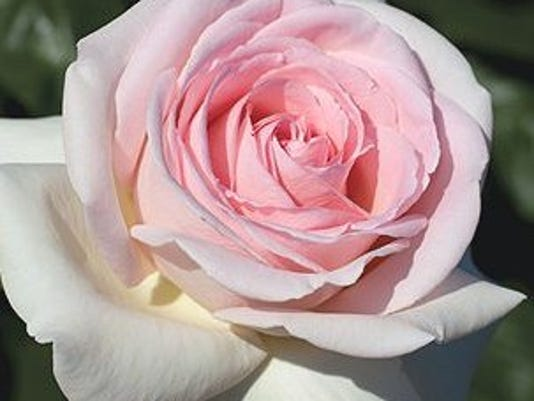 francis-meilland-rose-20131.jpg