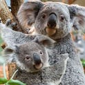 Alinga, the female koala which was born on October 19, 2013 and left her mother's pouch in May 2014 poses with her mother in the Zoo parc of Beauval in St Aignan on July 19, 2014. It is a rare koala birth in France.