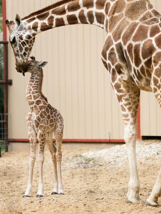 636010972540706390-giraffe-6613.jpg