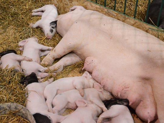 A litter of pigs take a nap together in the exhibition