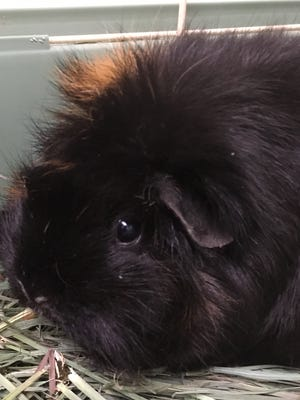 """Henrietta proclaims herself to be """"the most beautiful guinea pig on the planet."""""""