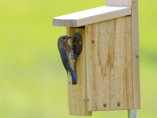 A bluebird perches at the opening of her nesting box